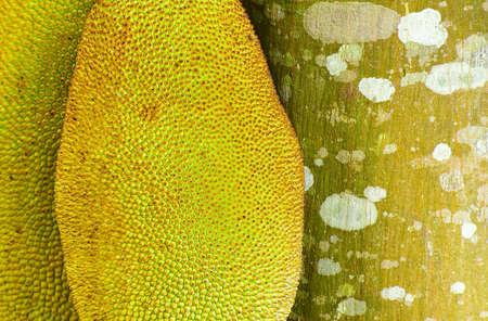 Jackfruit tree Stock Photo