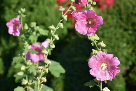 Sunhemp flower in garden