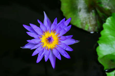 aqua: Lotus flower with nature on blurred background.