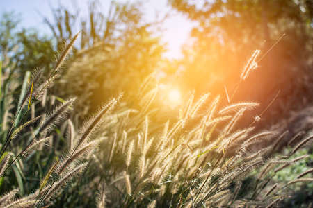 sway: Grass flower in forest with sunset at evening time. Stock Photo
