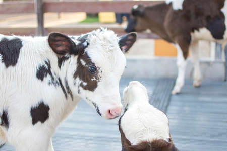 Cows in farm. Calf play happily. Dairy cows. selective focus. Stock Photo