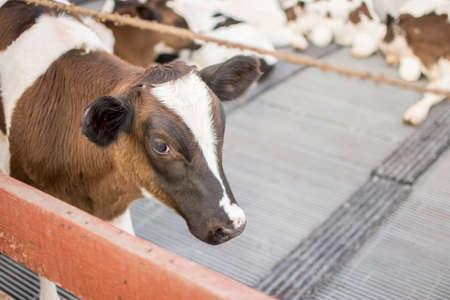 Cows in farm. Dairy cows. selective focus. Stock Photo