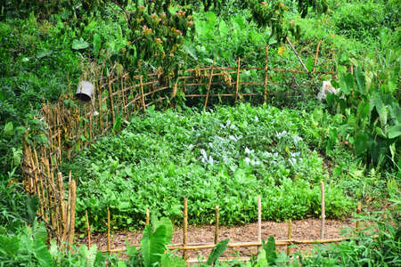 Vegetable and agriculture with bamboo fence in the countryside.