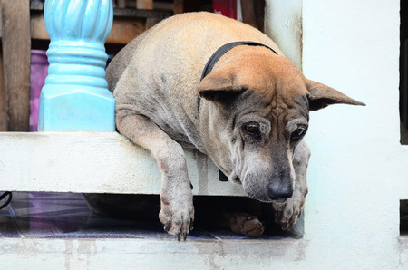 house trained: A lonely wall dog in thailand