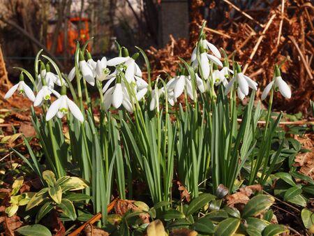 frhling: Schneegl�ckchen im Fr�hling  Snowdrops in Spring Stock Photo
