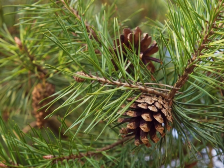 Pine cones on the tree photo