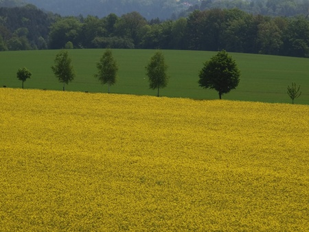feld: blooming canola field with row of trees