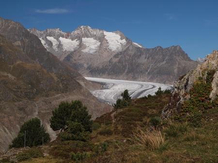 aletsch: Aletsch glacier with Aletschwald