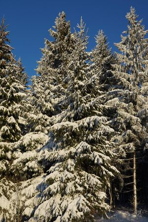 the edge: Trees with snow on the forest edge