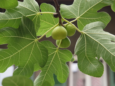 Fig with fruits and leaves Stock Photo