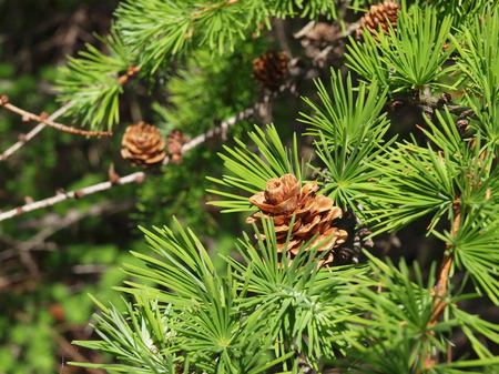 fresh larch needles with cones Stock Photo