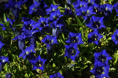 Gentian flowers in sunlight