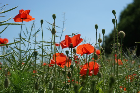 Poppies on the field edge