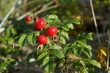 Red rose hips in autumn Stock Photo