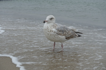 Seagull on the beach of the Baltic Sea Stock Photo