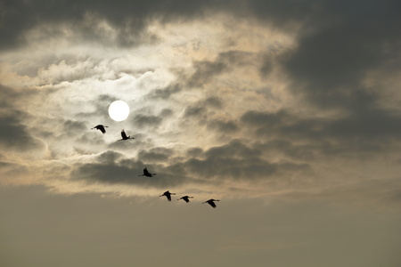 Flying cranes in front of the sun Stock Photo