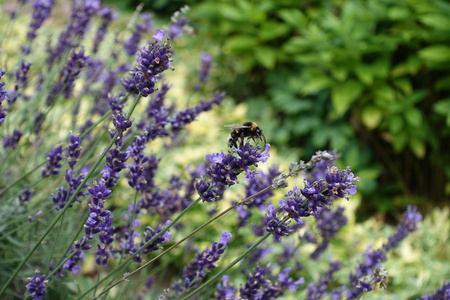 Purple flowers of lavender with a bumblebee