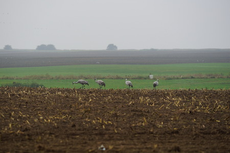 Kraniche bei der Futtersuche  Cranes foraging