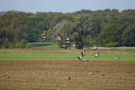 Kraniche bei der Futtersuche / Cranes foraging