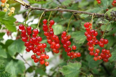 reife Johannisbeeren am Strauch  ripe redcurrants on the bush