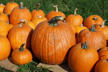 orange pumpkins on sale Stock Photo