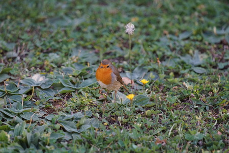 Robins foraging