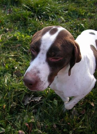 A liver and white English Pointer being attentive. Imagens