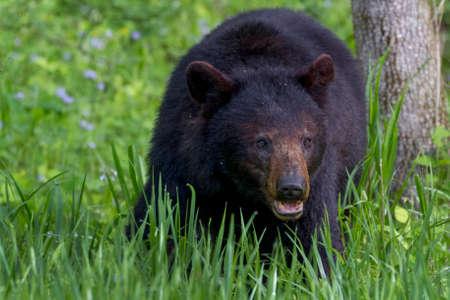 oso negro: Oso Negro  Foto de archivo