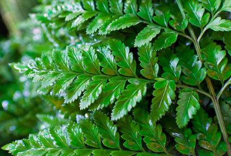 Davallia foliage for decorate with flower Stock Photo - 28040120