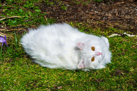 A long haired white cat with fluffy fur lying down in the grass, eyes looking up. Stok Fotoğraf