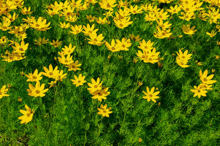 Bright yellow flowers with green leaves, Whorled tickseed (Coreopsis verticillata). Natural floral background. Stock Photo