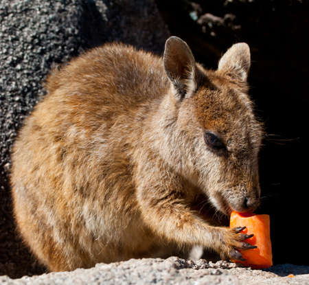 Rock wallaby eating a carrot, Magnetic Island, Australia Stock Photo - 13591080