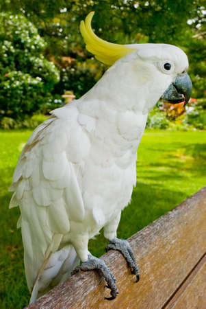White cockatoo photo