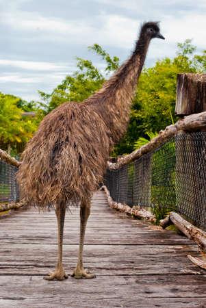 Wild emu, Australia photo