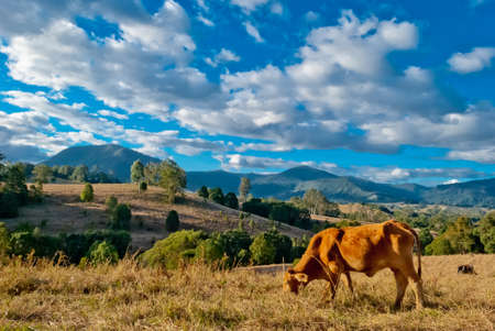 Peaceful rural landscape with cows Stock Photo - 15056274