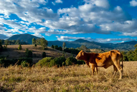 Peaceful rural landscape with cows Stock Photo - 15056312