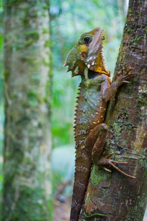 Australian lizard in a tropical rainforest photo