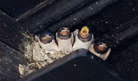 the offspring: Golondrinas cr�as en un nido Foto de archivo