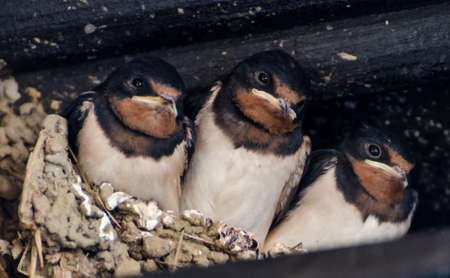 swift: Swallows offspring in a nest Stock Photo