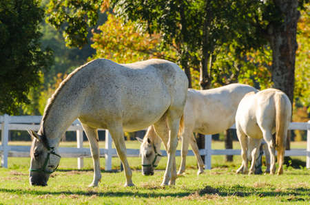 lipizzan horse: Lipizzan horses