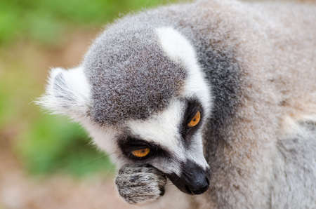 catta: Lemur catta Stock Photo
