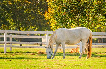 lipizzaner: Slovenia, Lipica, Lipizzan Horse Stock Photo