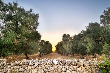Puglia, Italy, Olive trees