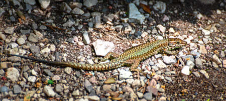 habitat: Lizard in its natural habitat