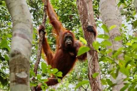 Wild Orang Utan in the jungle of Bormeo