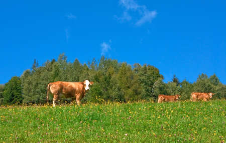 Three cows on a green pasture photo