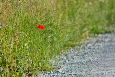 gravelly: Poppy on a gravelly roadside