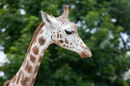 zoo as: The Rothschild Giraffe (Giraffa camelopardalis rothschildi) also known as the Baringo Giraffe in the London Zoo