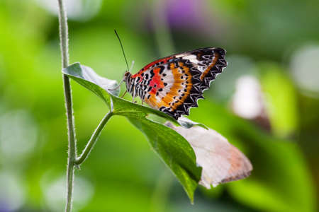 biblis: The Red Lacewing (Cethosia biblis) butterfly from South Asia