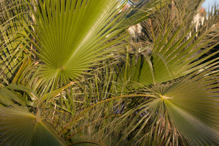 cloesup: Sabal palmetto‎ leaves cloesup Stock Photo